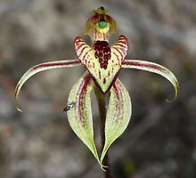 Heart-lip Spider Orchid by LeeoPhotography