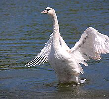 Mute Swan, Devizes. England by patapping