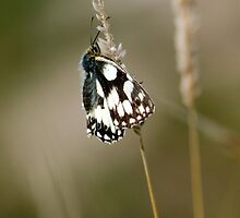 Marbled White Butterfly by mikebov