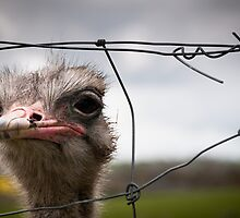 Wiry Ostrich by Steven Johnson