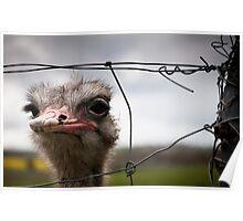 Wiry Ostrich Poster
