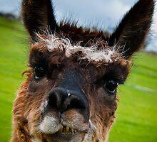 Wacky Alpaca by Steven Johnson