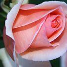 pink rosebud by sallysphotos