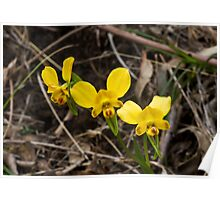 Diuris orientis Donkey Orchid Poster