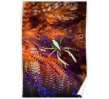 Squat lobster in fire urchin - Lembeh Straits Poster