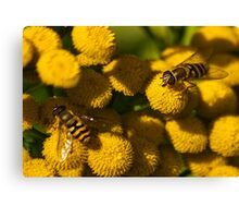 Amongst the Yellow - Hoverflies Canvas Print