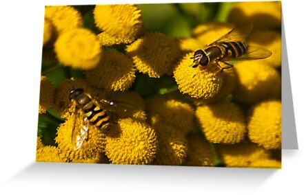 Amongst the Yellow - Hoverflies by Trevor Kersley