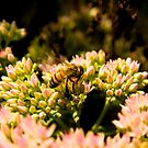 Honey Bee by Sean McConnery