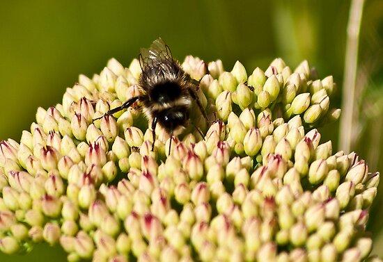 Busy Bee by Trevor Kersley