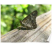 Butterfly knocking on wood. Poster