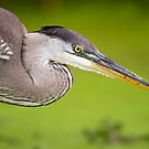 Blue Heron Portrait by Daniel  Parent