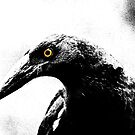 ~ Currawong ~ by Leeo