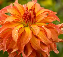 Bodacious Blooming Beauty by photodivaanna