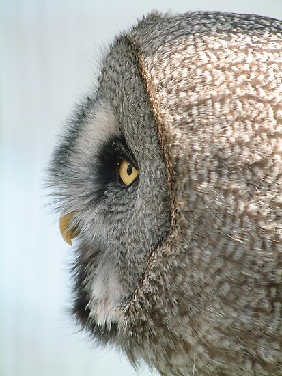 owl in profile by Yampimon