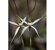 Wispy Spider Orchid Photographic Print