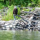 Bald Eagle at Jan Lake Sask. Canada by MaeBelle