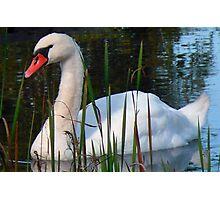 Beautiful Day Beautiful Swan Photographic Print
