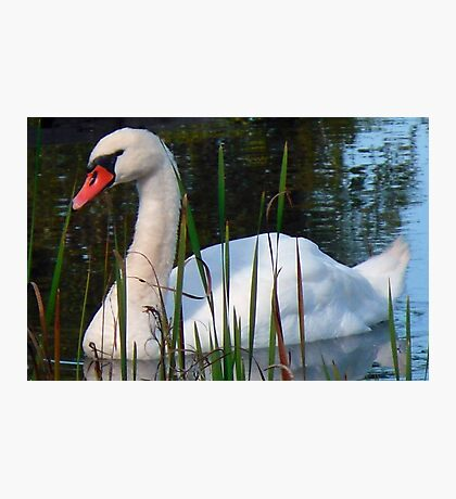 Beautiful Day Beautiful Swan Photographic Print