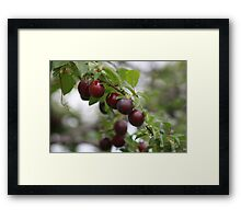 Red Plums Framed Print