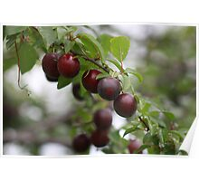 Red Plums Poster