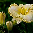 """Daylily """"First Knight"""" by Michael Cummings"""