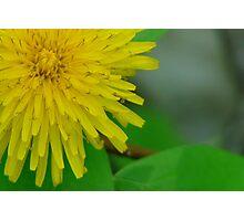 Pretty in Yellow,Dandilion Photographic Print