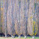 Poplars by Harry Oldmeadow
