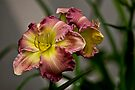 """Daylily """"Wisteria"""" by Michael Cummings"""