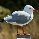 The Gull by Gerard Rotse