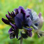 Purple Alfalfa Blossom by MaeBelle
