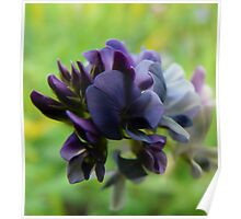 Purple Alfalfa Blossom Poster