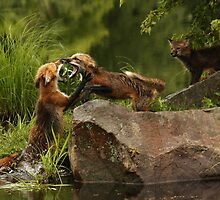 Fighting Foxes by by M LaCroix