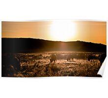 Bison Sunset Poster