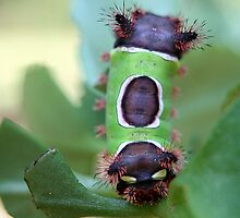 Saddleback Caterpillar by RebeccaBlackman