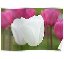 One White Tulip Poster