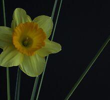 Daffodil by Meagan Evans