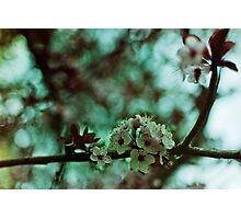 early spring cherry blossoms Photographic Print