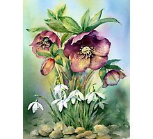 Snowdrops and Hellebores Photographic Print