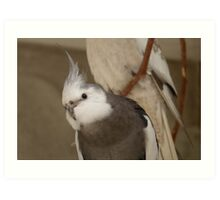 Wow! - White face Cockatiel! - NZ - Southland Art Print