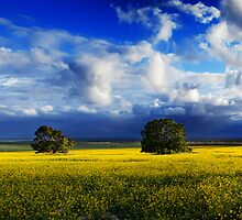 Canola Hill by Paul Pichugin