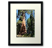 Giant Sequoia Tree in National Sequoia Park, california, USA. Framed Print