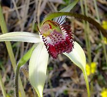 Spider Orchid by Karen Stackpole