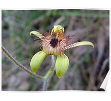 Bee Orchid - Growing wild, Wongan Hills, Western Australia Poster
