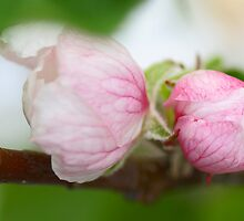 Sweet pink appletree blossoms by walstraasart