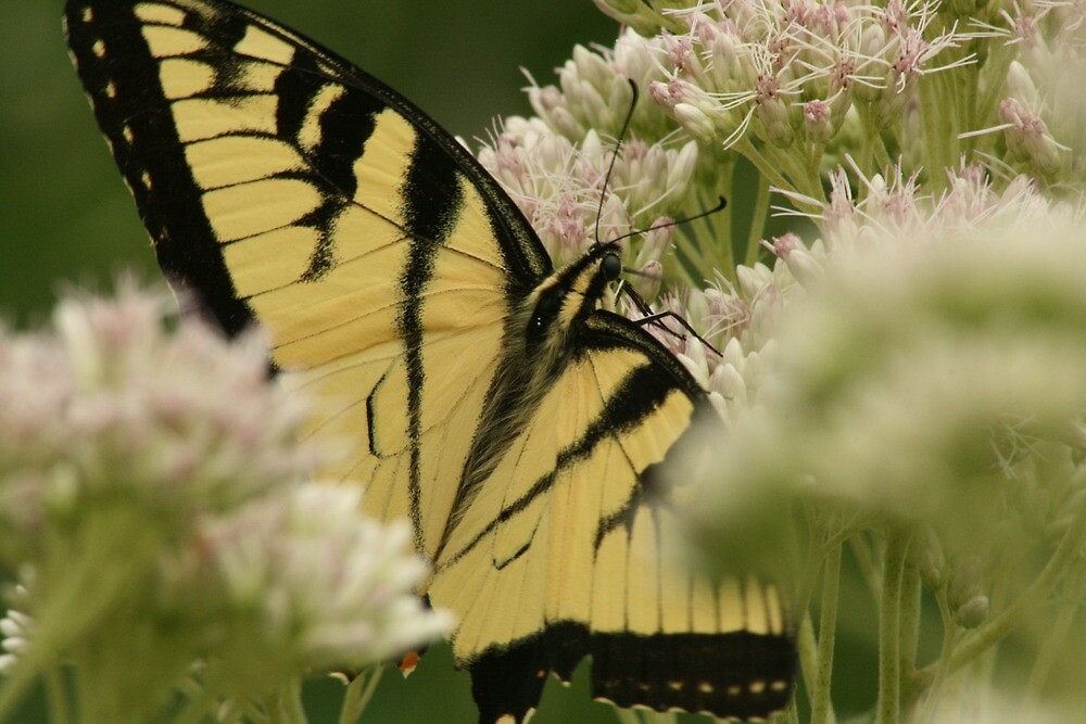 Canadian Tiger Swallowtail by eaglewatcher4