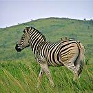 Burchells zebra by mamba