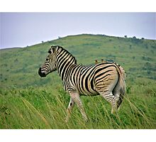 Burchells zebra Photographic Print