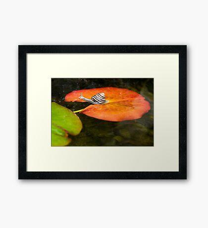 Snail on Lilypad Framed Print