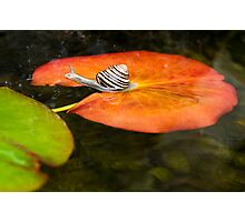Snail on Lilypad Photographic Print