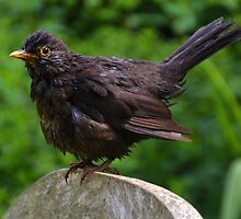 Young Blackbird ,, by lynn carter